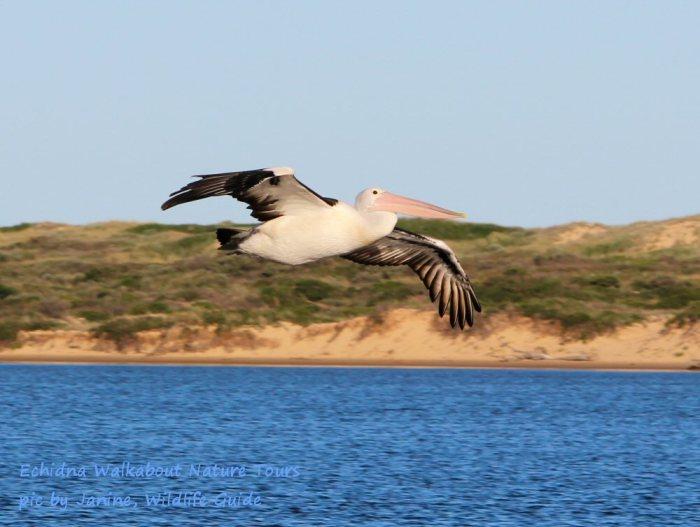 pelican010514p07croptextlowres