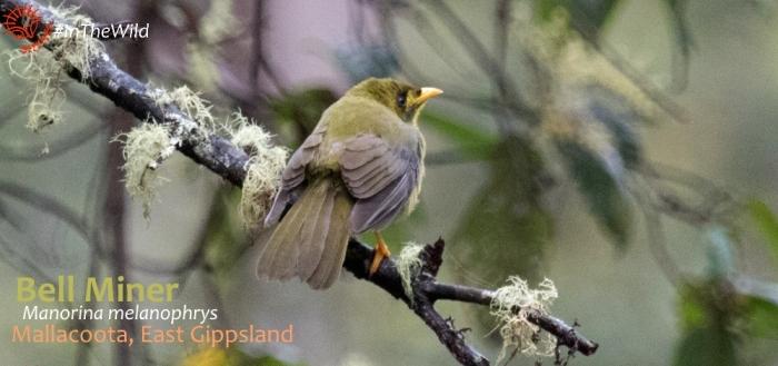 Bellbird Mallacoota
